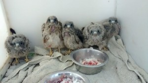 kestrel babies June 2014
