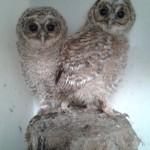 Tawny Owls 18 May 2014