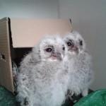 Tawny Owls 2 May 2014