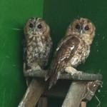 Tawny Owls 30 July 2014